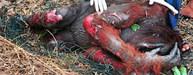 torture orang utan